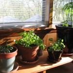 How To Plant Vegetable Garden in Pots