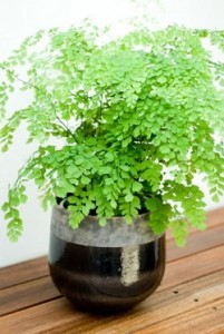 Common maidenhair - Adiantum